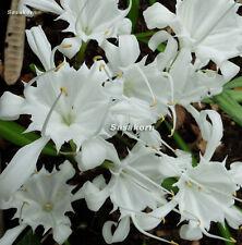4 BULBS PANCRATIUM ZEYLANICUM SPIDER WHITE LILY FLOWER SIZE