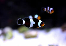 "Live Beginner Saltwater Fish - 1.5"" Black Ocellaris Clownfish - Baby Nemo Clowns"