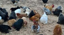 Bantam Cochin Hatching Eggs in a sea of mixed Color  #16  NPIP Certified