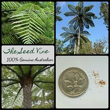 20+ NEW ZEALAND BLACK TREE FERN SPORES (Cyathea medullaris) Garden Kiwi Native