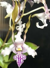 Den. Luwin Park x stratiotes Orchid Plant