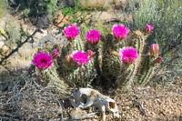 Dieser Kaktus ein stacheliger Freund mit schönen rosa Blüten-Kakteen Samen.