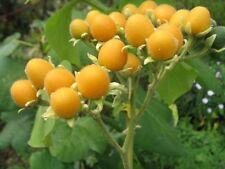 8 Semillas - Tamarillo Dorado - Cyphomandra Abutiloides