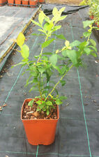 2 pack of Blueberry Duke Plant grown in a 2 litre pot. Delivered Free