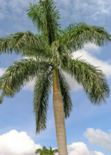 Roystonea Regia CUBAN ROYAL PALM tall tree ornamental palms plant seed 50 seeds