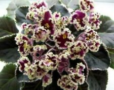 ~African Violet Live Baby Plant *Le Esmeralda* Showy Russian Standard🌿