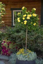"""20+ """"DWARF""""  YELLOW  """"TREE ROSE""""  Seeds    USA SELLER SHIPS FREE"""
