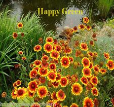 BLANKETFLOWER MIX - 330 seeds - Gaillardia aristata - PERENNIAL FLOWER
