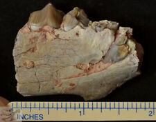Oreodont Jaw Section,Fossil Merycoidodon, Badlands, S Dakota, Oligocene, O1238