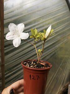 Beautiful Satsuki Azalea rhodedendon indicium Bonsai starter plant Flowering