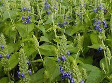 1.000 graines BIO  CHIA à semer Salvia hispanica Organic chia seeds Superaliment