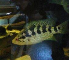 """FEMALE JAGUAR freshwater fish cichlid Parachromis managuensis 5"""" to 6"""""""