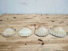 """Sea set shells Conch mollusc gastropods rare unknown species 6.3"""""""