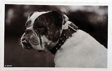 Vintage 1905 photo postcard Old English Bulldog Bully dog Huge Collar Rotary