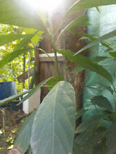 Avocado Plant : Reed : Permaculture Perennial : Self Sufficient Edible Fruit