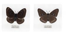 Laminated Striped Blue Crow Euploea mulciber Butterfly Specimen 110x110 mm Sheet