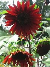 FLOWER SUNFLOWER RED SUN 120 FINEST SEEDS