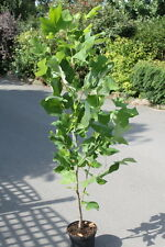 Liriodendron Tulipifera- Tulip Tree - Potted Large Trees 1M Tall
