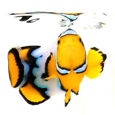 Sustainable Aquatics Snow Onyx Designer Clownfish WYSIWYG