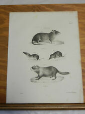 1842 Antique Natural History Print/WOODCHUCK,BLACK RAT,FORSTER'S& CAROLINA SHREW