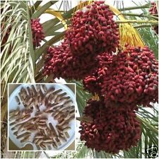 Phoenix dactylifera 20 Seeds Date Palm Canariensis Tree Fruit Seeds From Thai