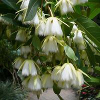 Elaeocarpus Floribundus Flowering Tree 4 Seeds, Indian Olive, Jolpai, USA