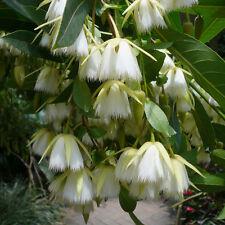 Elaeocarpus Floribundus Tree 4 Seeds, Indian Olive, Jolpai, Ships From The USA!