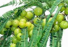 Phyllanthus Emblica Tree 15 Seeds Medicinal Gooseberry Edible Amla Fruit Plant