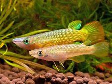 2 pair Lineatus killifish