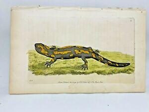 Salamander - 1783 RARE SHAW & NODDER Hand Colored Copper Engraving