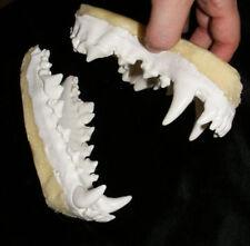 Grey wolf jaws teeth cast taxidermy