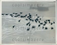 1949 Aerial of Snow Stranded Cows Northwestern USA Fed By Airplane Press Photo
