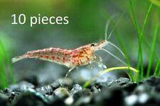 10x Cherry Shrimp breeding group For fish tank 1-1.5cm live S200
