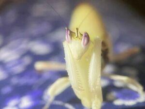 Female Orchid Mantis Live Feeder Food