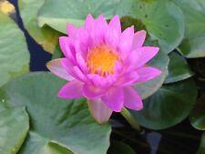 Live Purple Flower Siam Purple 2 Winter Hardy Waterlily Aquatic Pond Plant