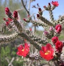 Cane Cholla Cactus Cylindropuntia spinosior Walkingstick Lot of 6 Plant Cuttings