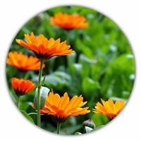 Ringelblume / Calendula officinalis / 50 Samen / Heilpflanze