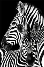 ZEBRAS - NATURE POSTER - 24x36 SHRINK WRAPPED - 33773