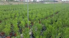 Nerium Oleander - Oleandro h 50/100 cm vaso 24 (9 piante)