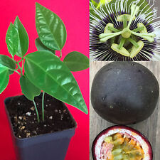 Purple Black Passion Fruit Passiflora Edulis Potted Starter PLANT Tropical Vine
