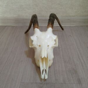 Real Goat Skull Taxidermy Wall Art Animal Collectables Wiccan Witch Altar Gift