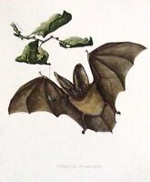 Impression Affiche Histoire Naturelle l'Oreillard Plecotus auritus