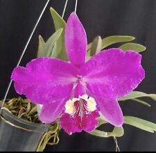 Cattleya lueddemanniana 317A (white Throat) X Canaima's Devil 3� Pot (15)