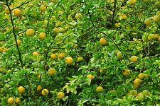 Bitterorange Poncirus trifoliata Baum 10 Samen VERSAND FREI !!!