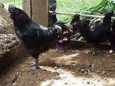 5 Ayam Cemani Chicken Hatching Eggs