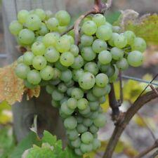 Vitis Vinifera 'Sauvignon Blanc' Bare Root (Grafted) Grape Vine - Containerised
