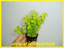 Planta de acuario, gambario, paludario  .Lysimachia aurea.