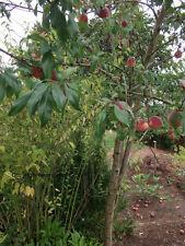 toll blühender Garten-Pfirsichbaum // Stecklinge & Bewurzelungs-Pulver Zierbäume