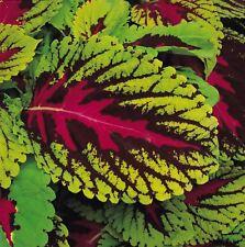 Flower - Coleus - Kong Scarlet - 10 Pelleted Seeds