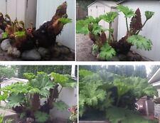Riesen-Mammutblatt Gunnera manicata winterhart schnellwüchsig Knollenpflanzen